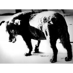 Daido Moriyama - Stray Dog - Misawa 1971