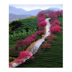Wei Peiquan - Tea garden in Yongfu township 2 - China_ph_land