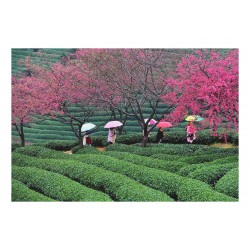 Wei Peiquan - Tea garden in Yongfu township - China_ph_land